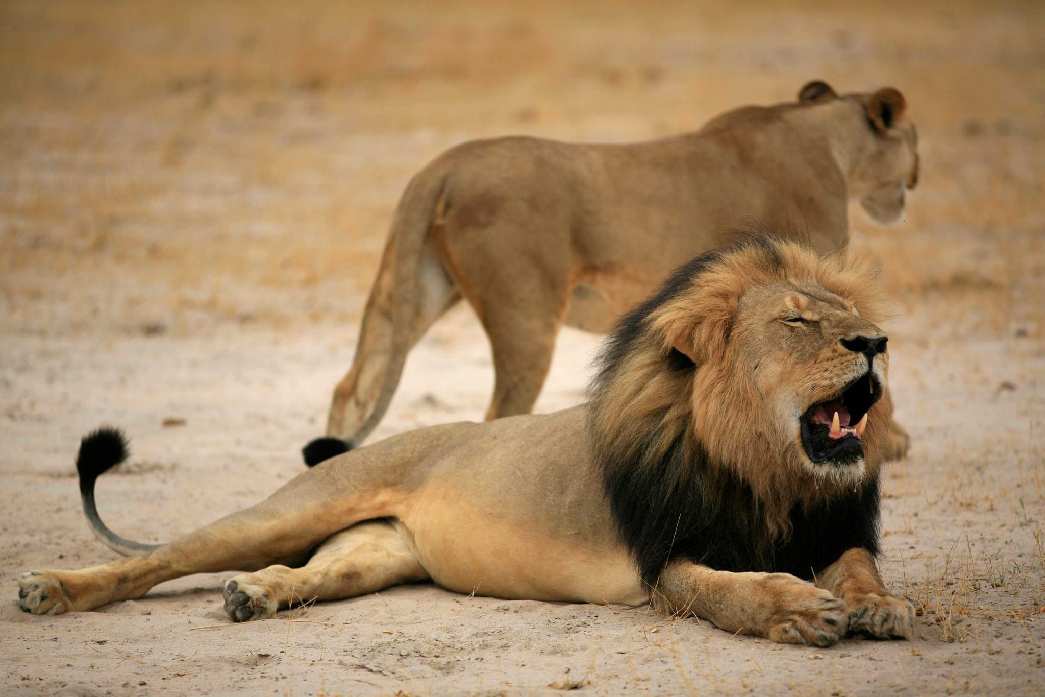 Cecil the Lion died 40 hours after being shot with a crossbow