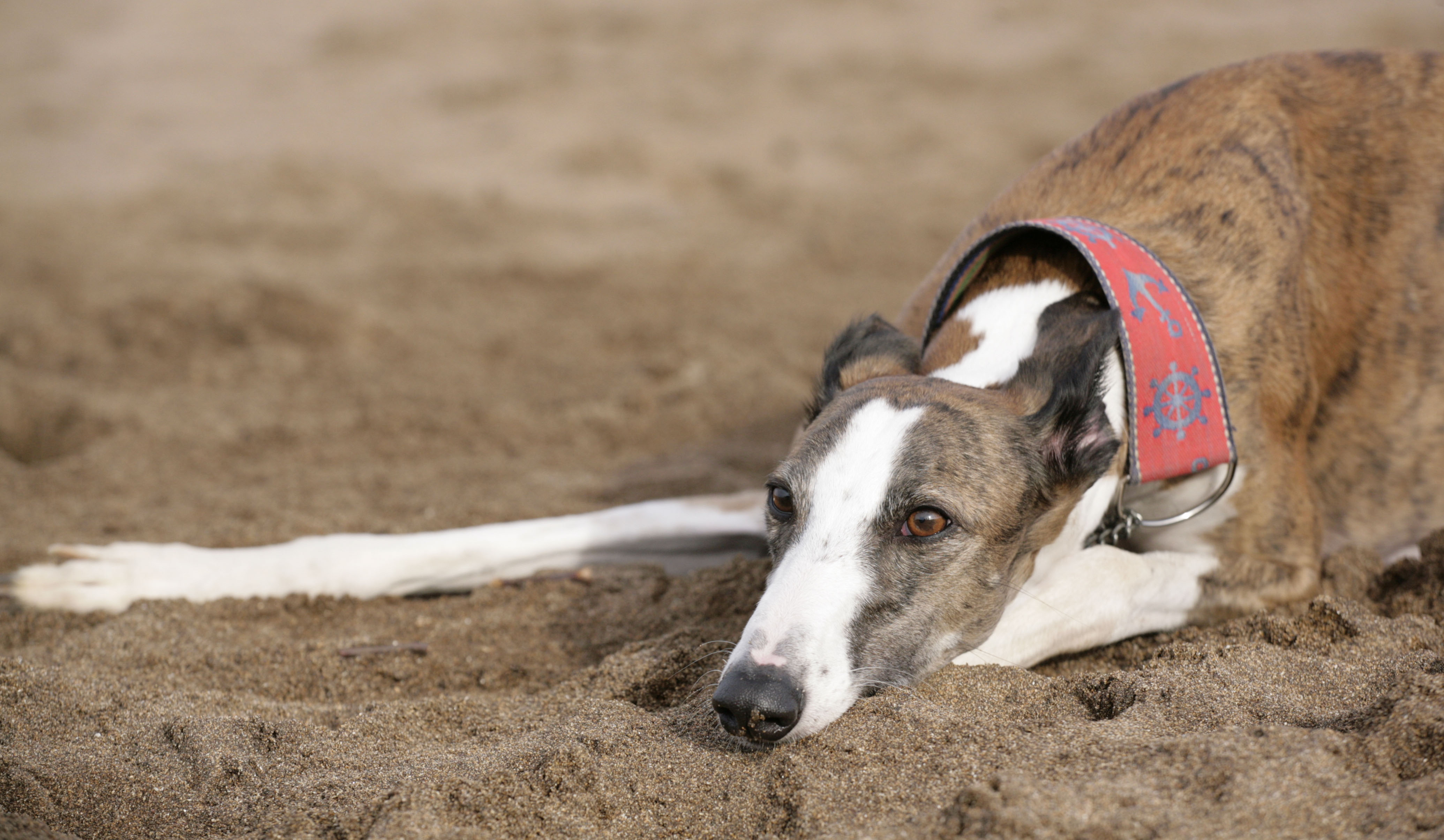Greyhound Racing: Shameful brutality must end now