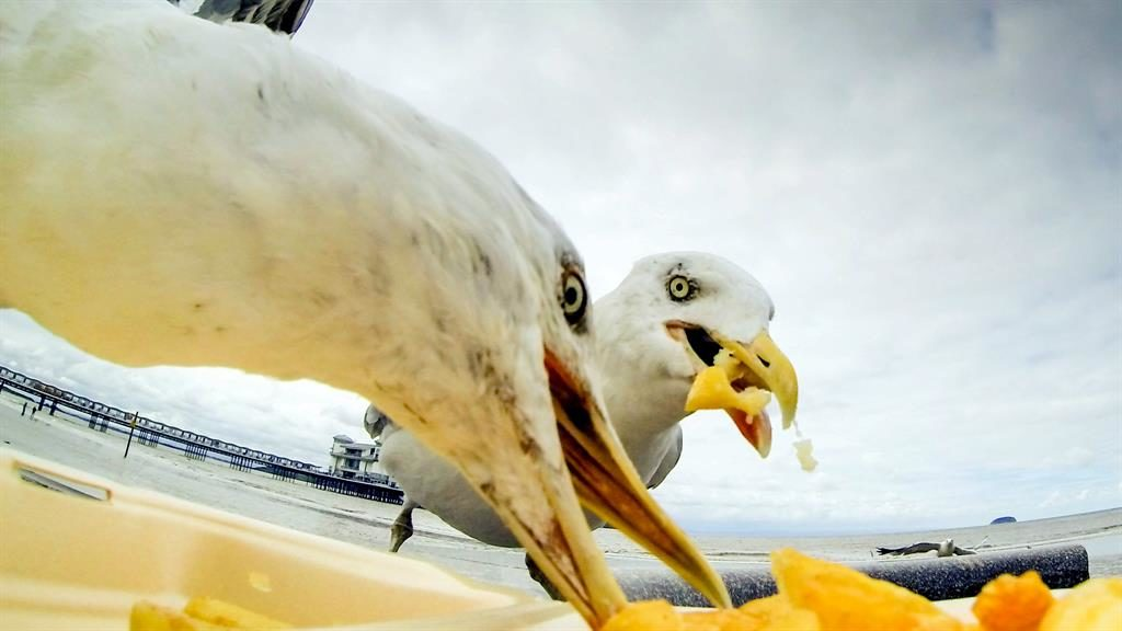 Science figures out how to stop seagulls from stealing your chips