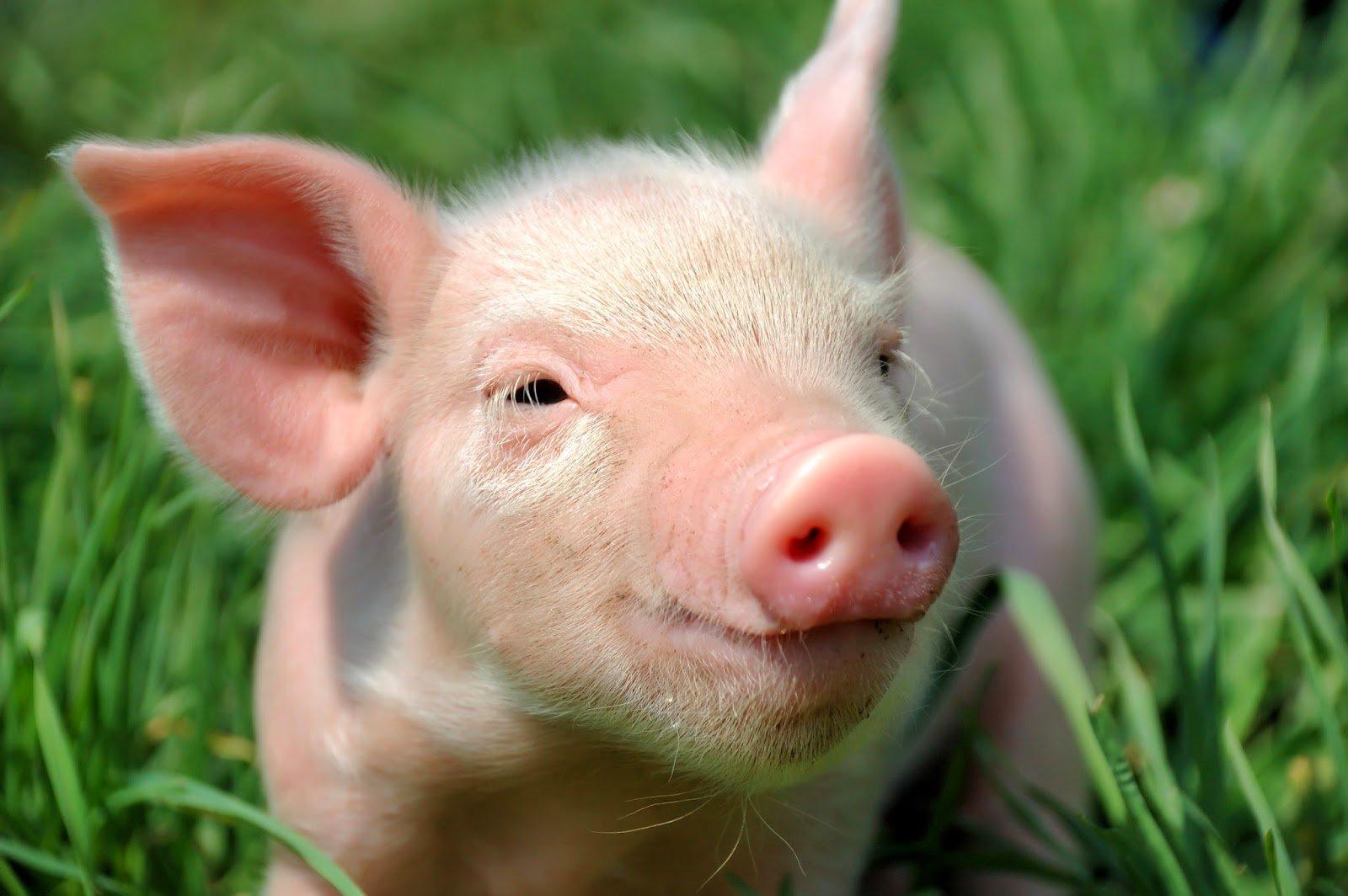 TBS Next Gen: Suffering pigs in factory farming