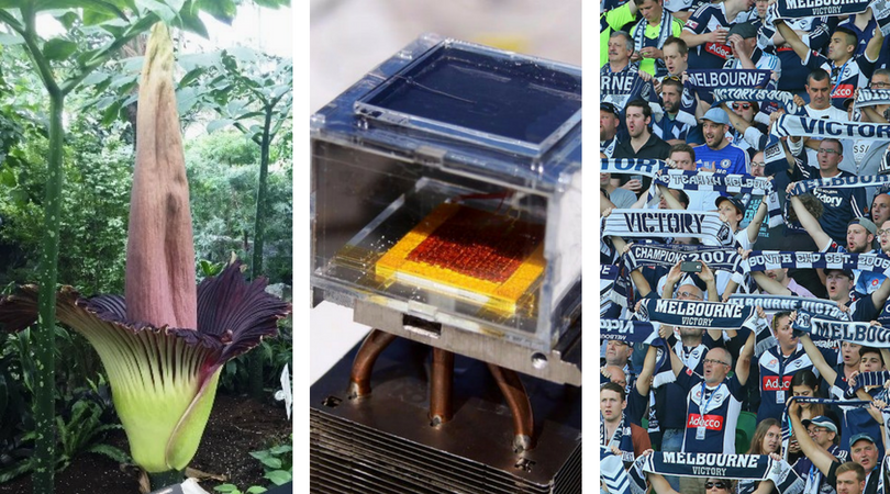 While you were asleep: Canada's corpse flower, Water from thin air, A-League finalists grate nerves