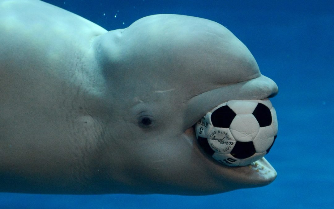 That fetch-playing beluga that went viral may be a russian spy whale