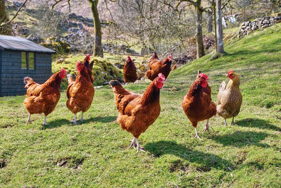 Home Grown Country Life: Three good reasons to keep chickens