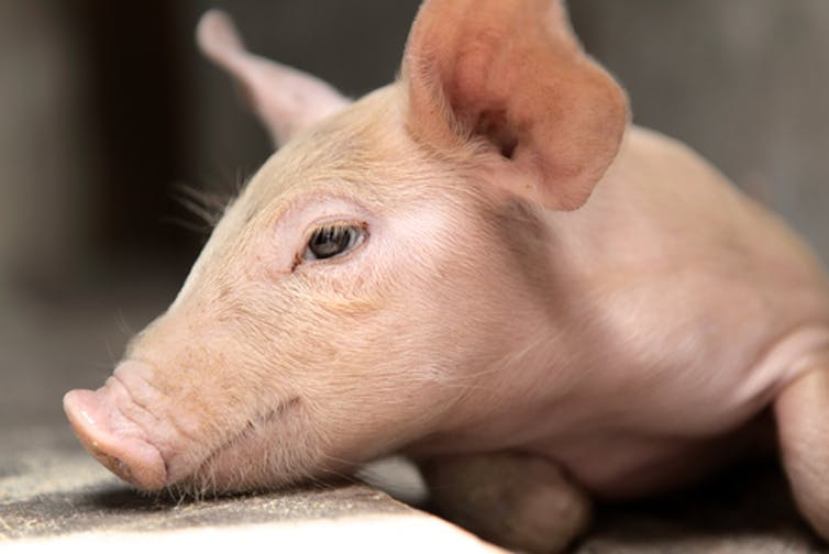 Reanimating that pig illustrates our elastic definition of death