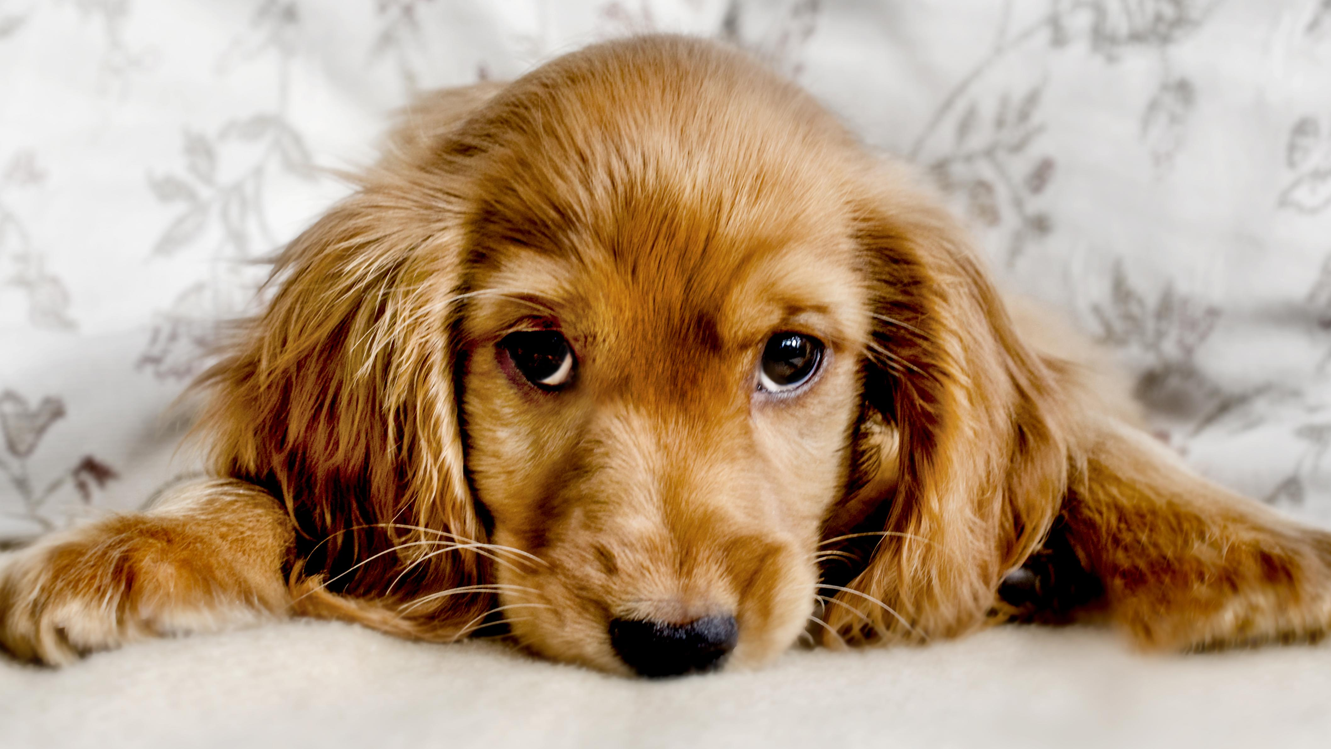 Dogs evolved the muscle that makes puppy dog eyes