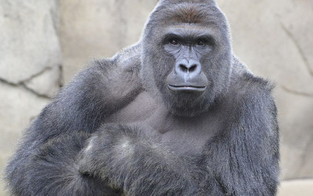 It's been five years since the Harambe episode