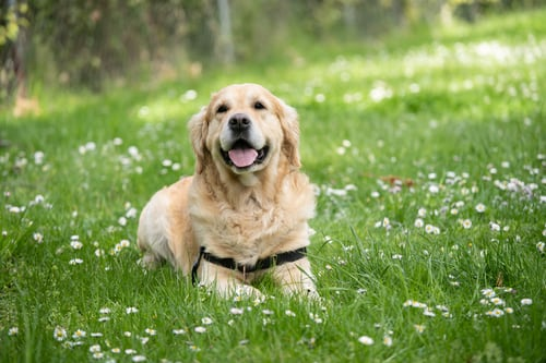 Dogs can be trained to detect COVID-19, claims study